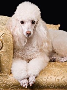 How to Choose the Best Dog for Your Family  (looks just like my Lilly, childhood BFF) #poodle