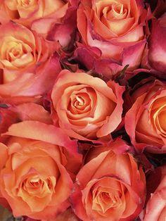 Orange Roses, White Roses, Red Roses, Floral Backround, Rose Wallpaper, Wallpaper Backgrounds, Wallpapers, Fragrant Roses, Wedding Reception Planning