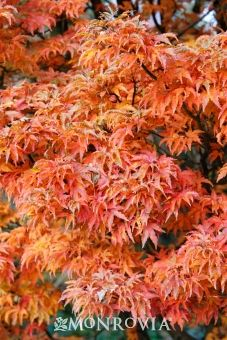 Shishigashira Japanese Maple Acer palmatum 'Shishigashira' - Green leaves become purple-red with orange red patterns in the fall - accent tree on front slope Potted Trees Patio, Garden Trees, Trees To Plant, Japanese Tree, Japanese Maple, Japanese Gardens, Maple Trees Types, Monrovia Plants, Plant Catalogs