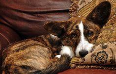 Cardigan Welsh Corgi Puppies, Corgi Mix, Cute Corgi, Cute Puppies, Clever Animals, Super Cute Animals, The Cardigans, Cut Animals, Cute Animal Photos