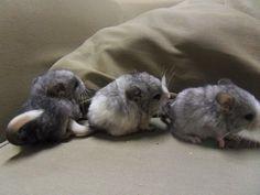 Babies! - Diamond Chinchillas