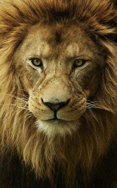 Lion and smart again! - Anna Maria - Lion and smart again! Lion Images, Lion Pictures, Images Of Lions, Lion Wallpaper, Animal Wallpaper, Animals And Pets, Cute Animals, Hilarious Animals, Wild Animals