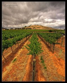 Vines in the Vineyard - Rowland Flat, Barossa Valley, Australia