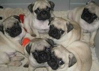 Pug Puppies For Sale In Best Price Jaipur Pug Puppies For Sale