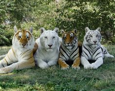 Happy World Tiger Day! In honor of these iconic cats, featured below are 4 of our cherished Bengal friends, stars of the Tigers of India show sporting 4 color variations of the Bengal tiger, Golden Tabby, Snow White, White, and Standard: (Left to right) Bhutan, Madras, Nina, and Tamara. Share this post to help raise awareness of tiger conservation!