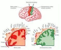 brain homunculi