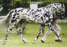 Knabstrapper Horse