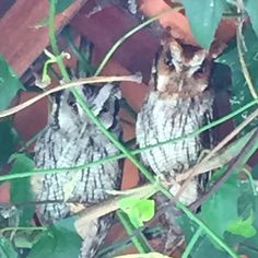 They are living in my garage's roof!!! Avaré -SP- Brazil!!!