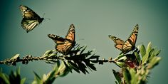 By Laura Zuckerman               (Reuters) - Monarch butterflies may warrant U.S. Endangered Species Act protection because of farm-related habitat loss blamed for sharp declines in cross-country migrations of the orange-and-black insects, the U.S. F...