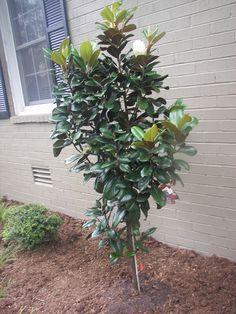 Teddy Bear Dwarf Magnolia Tree