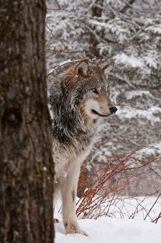 """beautiful-wildlife: """" Timber Wolf by WolvesOnly """""""