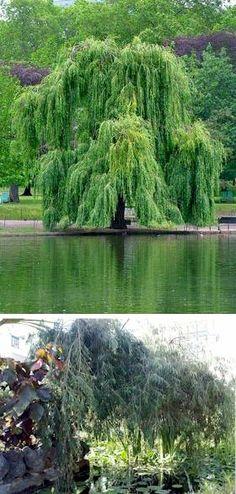 Trauerweide - Salix alba Tristis Resistenta