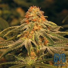 Barneys Farm Vanilla Kush Feminised Cannabis Seeds: The amazing, heavy yields of this indica-dominant plant are matched only by its red and gold beauty. It offers dense, heavy colas and a sweet smoke that truly lives up to it's name.
