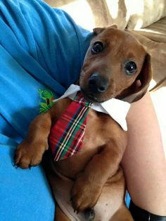 When our CUTE PUPPIES start acting weird; know the many signs & symptoms of dog epilepsy & dog seizures. Dachshund Puppies, Weenie Dogs, Dachshund Love, Cute Puppies, Cute Dogs, Dogs And Puppies, Doggies, Funny Animals, Cute Animals