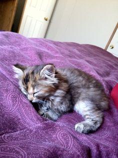 Kitten on Purple Comforter