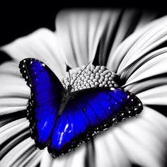 Dark blue butterfly   !!!!!!