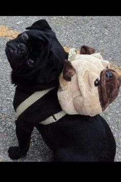 Nothing cuter that a pug wearing a pug (backpack). Unless there is a pug beanie baby inside. Amor Pug, Baby Animals, Funny Animals, Cute Animals, Animals Images, Pug Love, I Love Dogs, Raza Pug, Cute Pugs