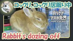 コックリ、コックリ居眠り中【ウサギのだいだい 】 2016年8月18日
