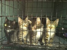 The Chicken Nugget kittens -- saved!