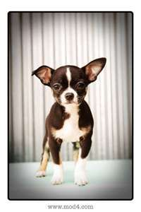 "A chihuahua/ Boston terrier mix pup. I am pretty sure this is what Moose's ""recipe"" is!"