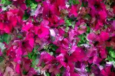 Burgundy Petunia
