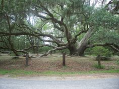 Tree in the movie Forrest Gump. Beaufort, SC
