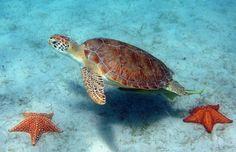 Green turtle underwater, near two seastars. © Caroline S. Rogers, USGS