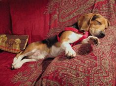 Are you interested in a Beagle? Well, the Beagle is one of the few popular dogs that will adapt much faster to any home. Cute Beagles, Cute Puppies, Cute Dogs, Dogs And Puppies, Doggies, Art Beagle, Beagle Puppy, Sleepy, Scottish Terrier