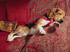 Buzzfeed on Beagles.