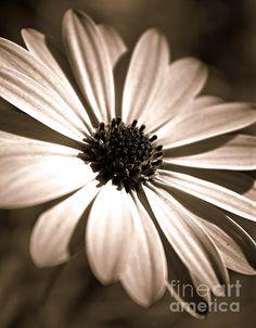 Daisy Shimmer by Clare Bevan Photography #clarebevan #clarebevanphotography #osteospermum #monochromephotography #capedaisy