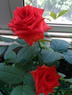 Ароматные орхидеи и другие растения - Роза алая