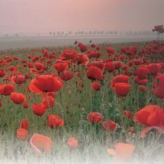 Thompson & Morgan has a wide range of hardy flower seeds to buy online in the UK. With all types of hardy annual seed available for delivery - Buy Today! Flanders Poppy, Flanders Field, Poppy Flower Seeds, Planting Poppies, Anemone Flower, Grain Of Sand, Flower Power, Wild Flowers, Poppy Fields