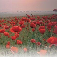 Poppy (Wild) Papaver rhoeas, Corn Poppy, Field Poppy, Flanders Poppy