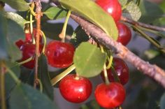 Alberta Home Gardening Organic Gardening, Gardening Tips, Vegetable Gardening, Backyard Plants, Fruit Garden, Trees And Shrubs, Garden Spaces, Fruit Trees, Garden Projects