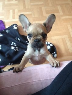 """""""You Will Obey Me Human, Resistance is Futile"""", Bossy French Bulldog Puppy."""