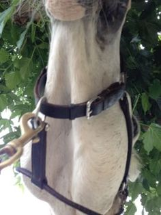 How to help your horse lower his head for the bridle!  http://www.proequinegrooms.com/index.php/tips/grooming/help-for-the-horse-that-become-a-giraffe-when-you-try-and-put-th/
