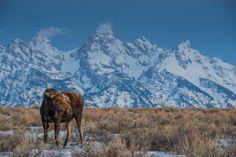 Cow Moose and Tetons - Grand Teton National Park