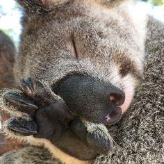 Oh love you sooooooo much Animal Pictures, Cute Pictures, Australia Animals, Super Cute Animals, Spirit Animal, Beautiful Creatures, Animals And Pets, Fur Babies, Koala Bears
