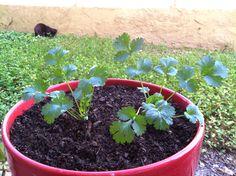 Herbs: Corriander/Cilantro
