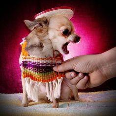 Cinco de Mayo #chihuahua!