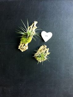 Set of 2 cholla wood magnets with air plant and moss-Living decor- magnets woodland favors// unique gift for any occasion by omorfigiadesigns on Etsy https://www.etsy.com/ca/listing/255432587/set-of-2-cholla-wood-magnets-with-air