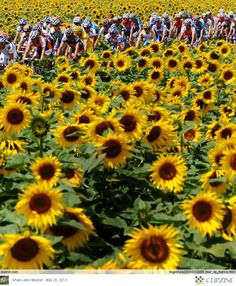 Tour de France ... Bicyclists + Sunflowers