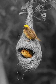 Diese kleinen Vögel sind hervorragende Architekten. Hier präsentieren sie dem staunenden Menschen ihr perfektes, hängendes Haus.