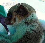 Sibree's dwarf lemur, profile view
