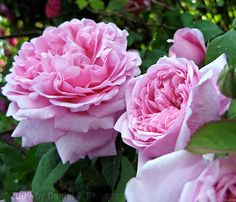 'Comte de Chambord ' Rose Photo