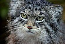 マヌルネコ - Wikipedia イギリス、エディンバラ動物園のマヌルネコ