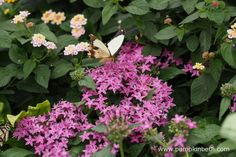 The Mocker Swallowtail Butterfly, also known by its scientific name of Papilio dardanus, feeding on Pentas lanceolata, inside the Butterfly Dome, at the RHS Hampton Court Palace Flower Show Hampton Court Flower Show, Rhs Hampton Court, Palace, Butterflies, Exotic, Tropical, Pumpkin, Flowers, Plants