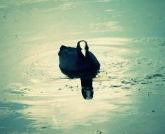 Pato preto