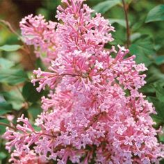 Josee Reblooming Lilac...  got two of these going in my front yard... hopefully they'll grow into a beautiful hedge!