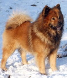 Eurasier picture i want this dog so bad! ADORABLE as a puppy too